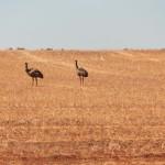 Ostriches - Страусы