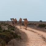 Camels - Верблюды