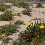 Dune flowers - Дюнные цветы