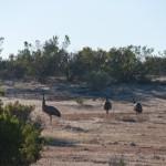 Ostriches in National Park - Страусы в национальном парке