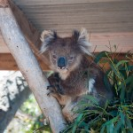Sleepy koala - Сонная коала