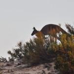 Kangaroo jumping from the bush - Кенгуру выпрыгнувшая из куста