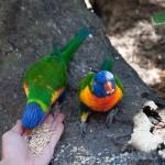 Brave little parrots - Смелые попугайчики