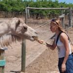 Feeding a camel - Кормлю верблюда