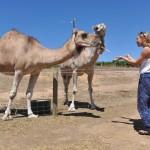 Feeding two camels - Кормлю двух верблюдов