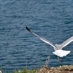 A seagull ~ Чайка