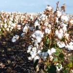 Cotton fields ~ Хлопковые поля