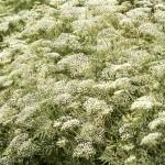 Yutsa's herbs ~ Юцинское разнотравье